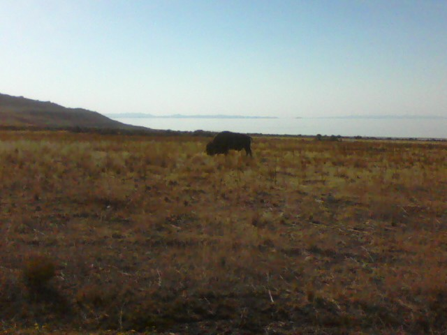 Bison. Antelope Island State Park.