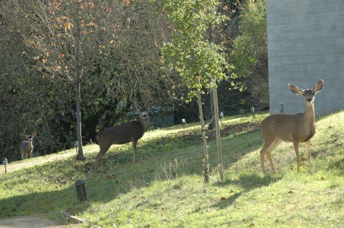 Deer at Montalvo.